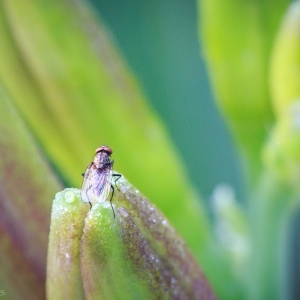 Fly on bud - Ellie Kennard 2013