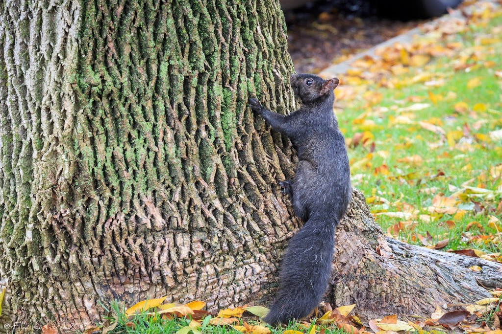 Big City (Toronto) Squirrel - Ellie Kennard 2013