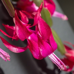 Christmas cactus flowers - Ellie Kennard 2014