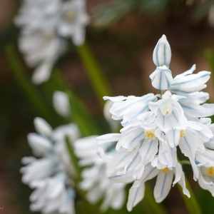 Striped Squill (Puschkinia scilloides)  - Ellie Kennard 2014
