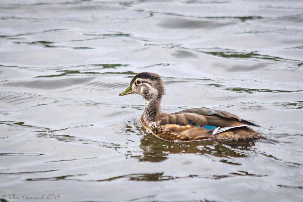 Immature Wood Duck - Ellie Kennard 2014