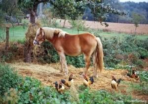 George - Hafflinger colt we bred, Laubrecourt, Dordogne, 1995 - © Steven Kennard
