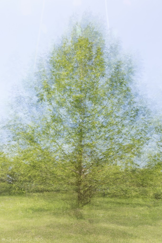 Dawn Redwood tree, multiple exposure – Ellie Kennard 2015