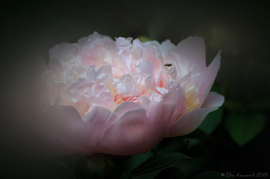 Paeony with fly – Ellie Kennard 2015