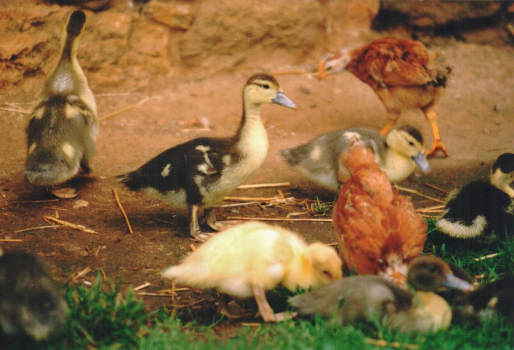 Chickens and ducklings - photo Steven Kennard