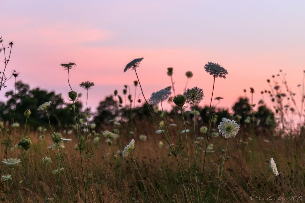 Sunset Queen Anne's Lace - Ellie Kennard 2015