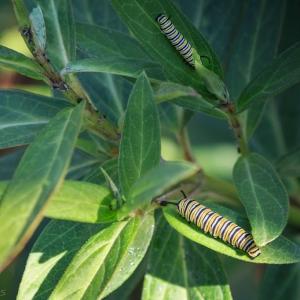 Monarch butterly larvae - Ellie Kennard 2016