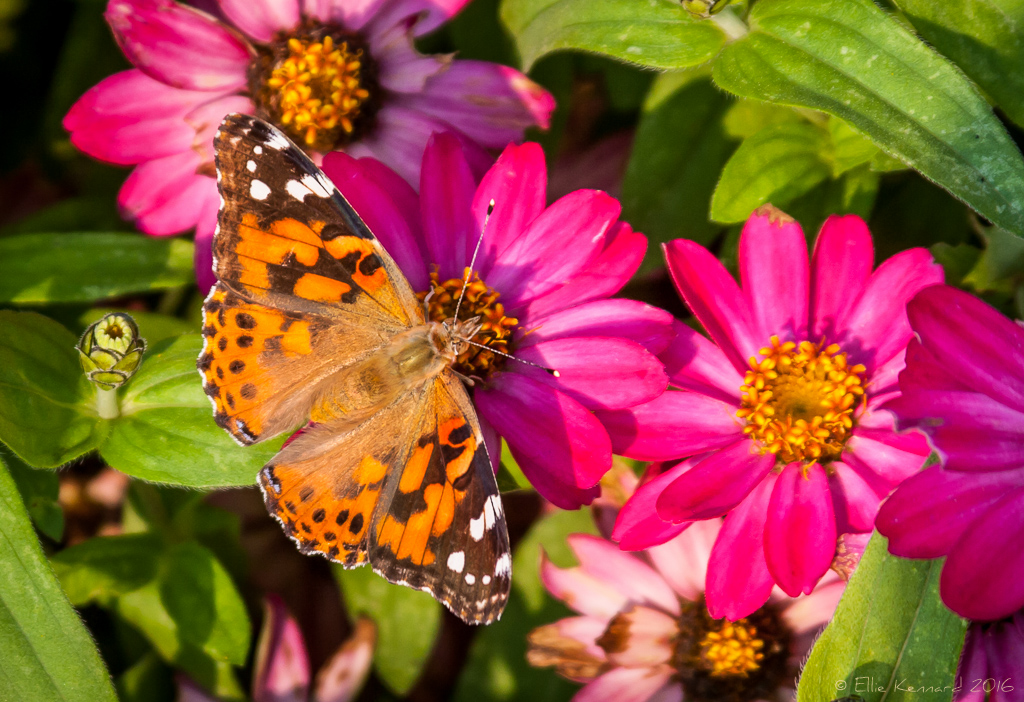 Summer memories Butterfly - Ellie Kennard 2016