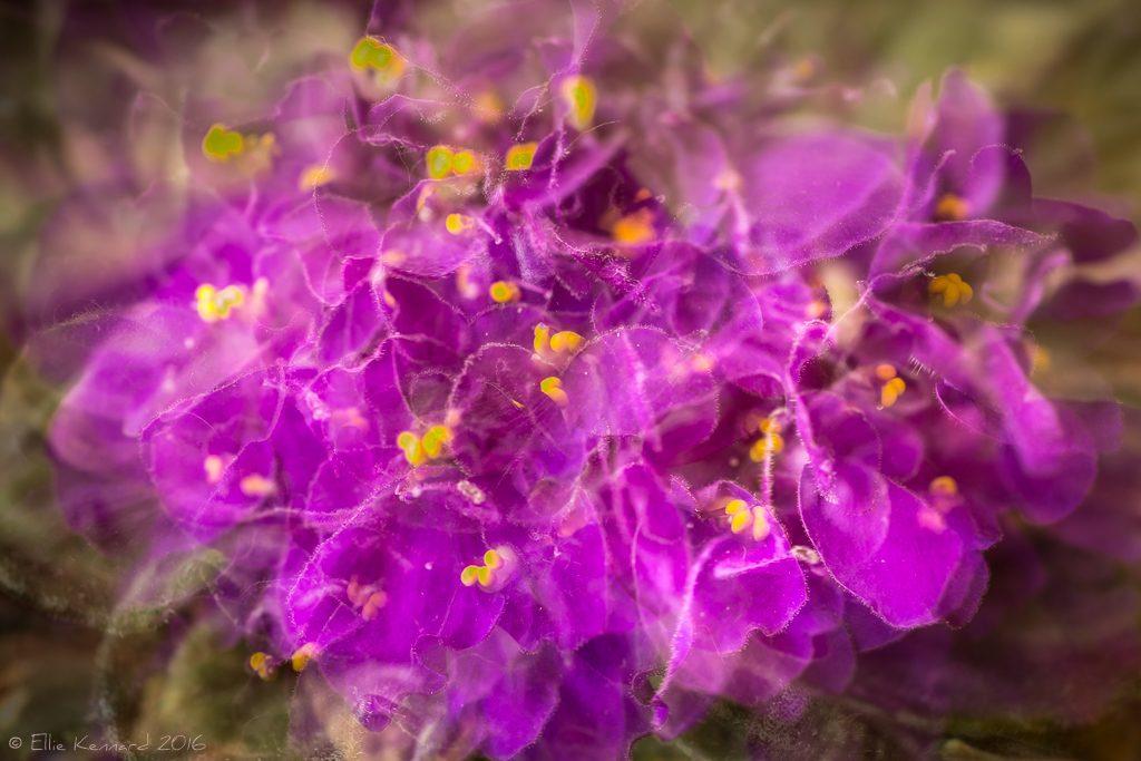 Multiple Exposure Purple African Violet- Ellie Kennard 2016