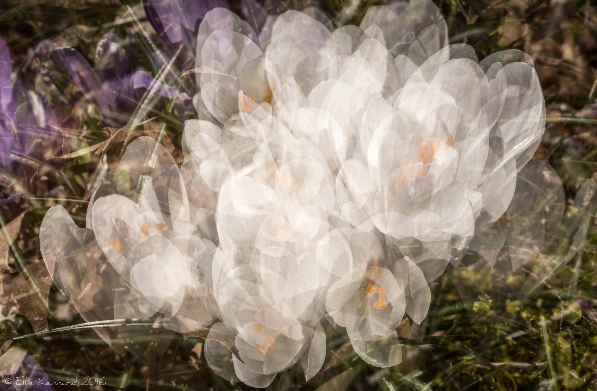 Spring explosion~ Multiple Exposure of White Crocuses– Ellie Kennard 2016