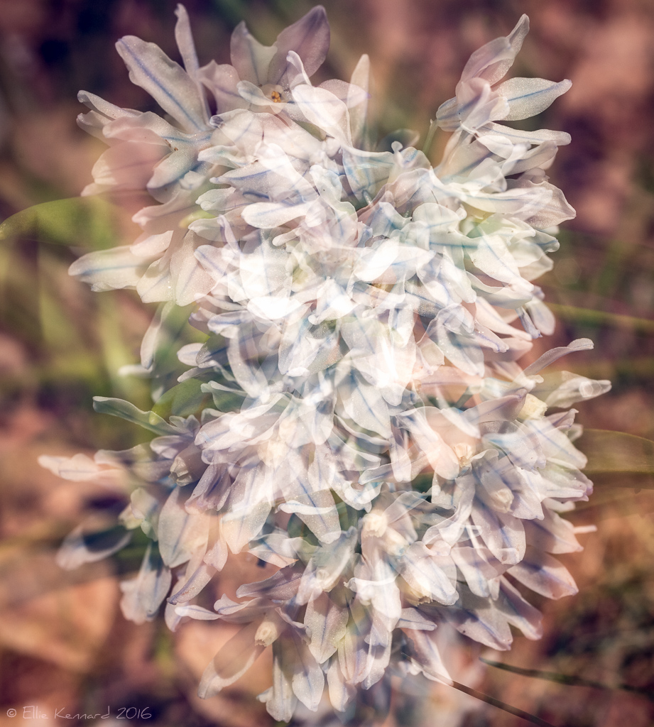 Striped Squill (Puschkinia scilloides) Frovolity – Ellie Kennard 2016