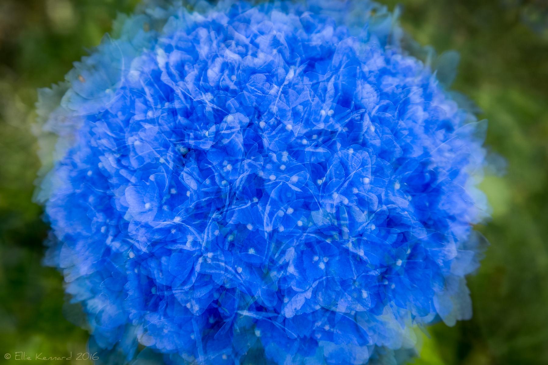 Blue Hydrangea summer posy - Ellie Kennard 2016