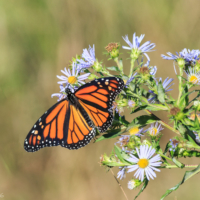 Female Monarch Butterfly on wildflowers, Canning, NS. Note the lack of black spot on the wing and the thicker lines traced on the wings. - Ellie Kennard 2016