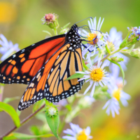 Female Monarch Butterfly on wildflowers, Canning, NS - Ellie Kennard 2016