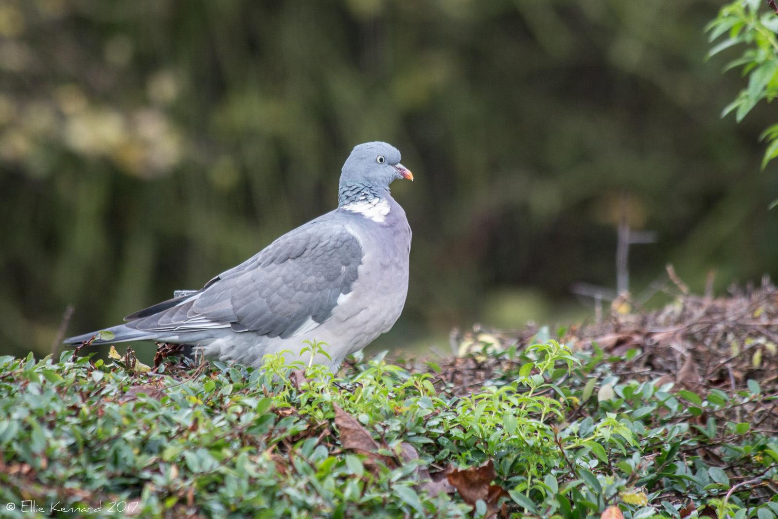 Wood Pigeon on a hedge - Ellie Kennard 2016