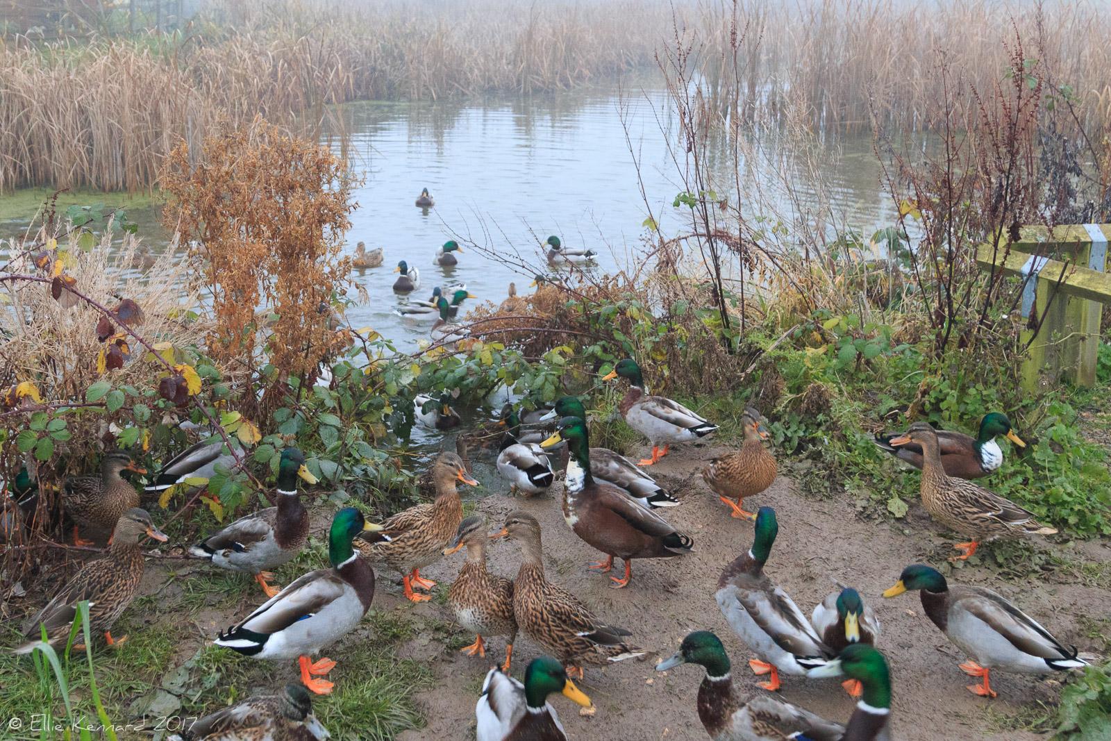 Curious ducks in the fog - Ellie Kennard 2016