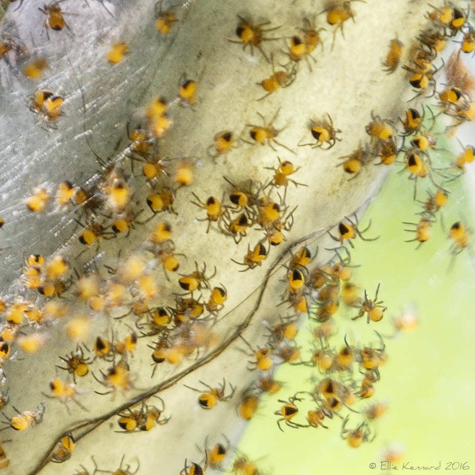 Close-up of baby spiders in their web - Ellie Kennard 2016