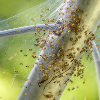A closer look at baby spiders in their web - Ellie Kennard 2016