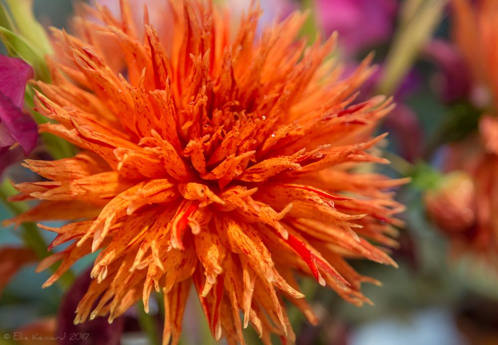 Dahlia flower - Ellie Kennard 2017
