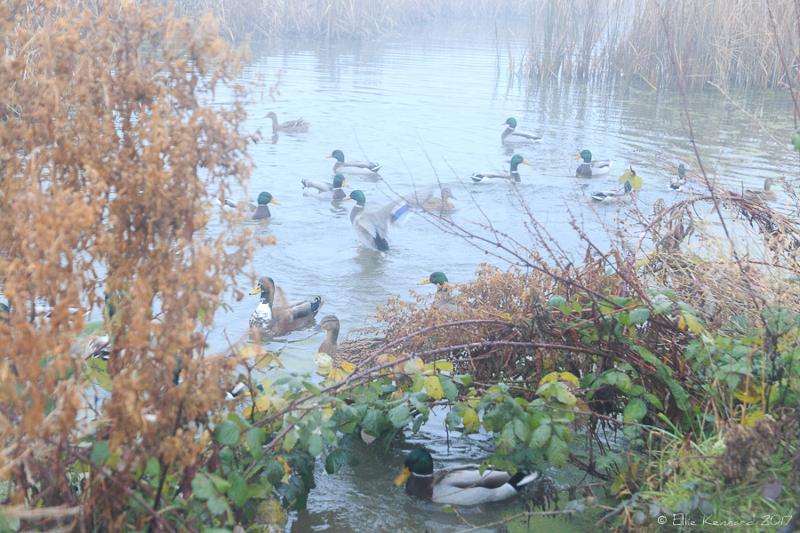 Ducks in the mist - Ellie Kennard 2016