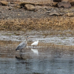 Great Blue Heron and Snowy Egret - Ellie Kennard 2014
