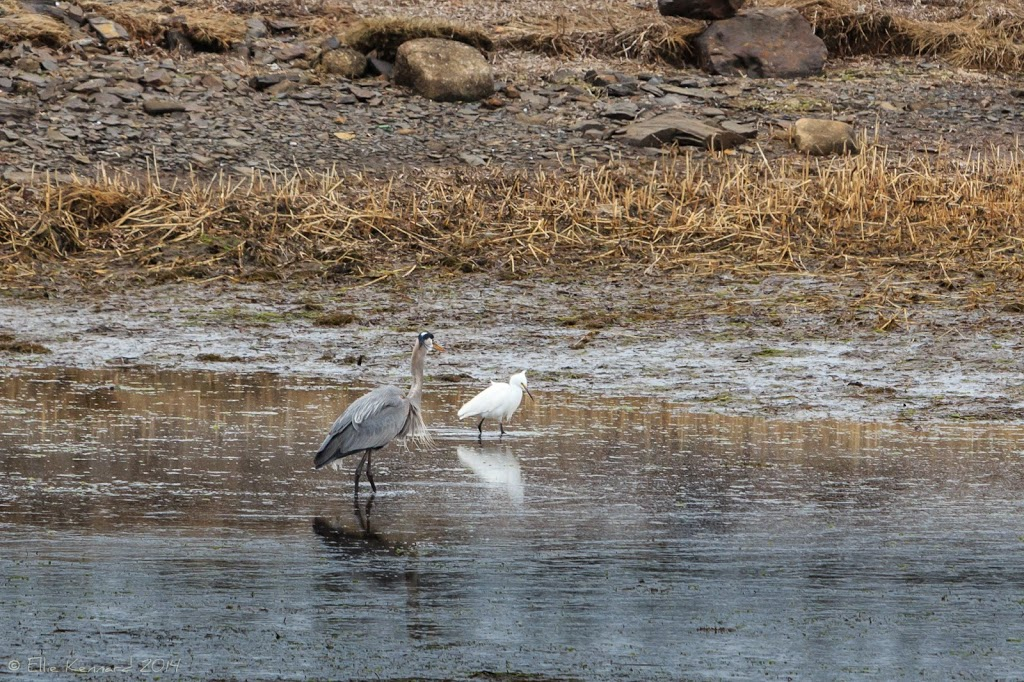 Great Blue Heron and Snowy Egret - Ellie Kennard 2014