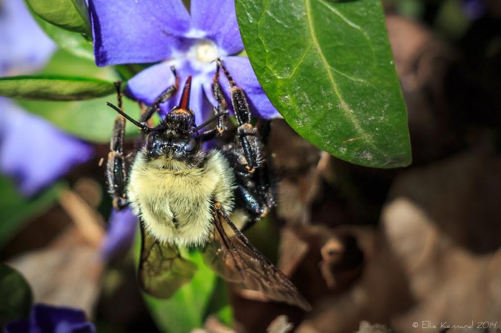 Bee on purple flower - Ellie Kennard 2014
