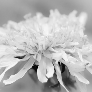 Flower in black and white - Ellie Kennard 2014