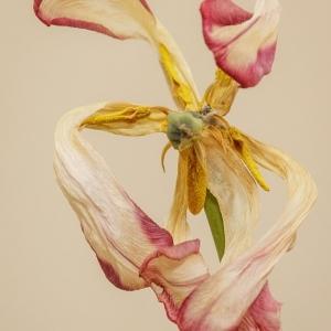 Ballerina tulip - Ellie Kennard 2014