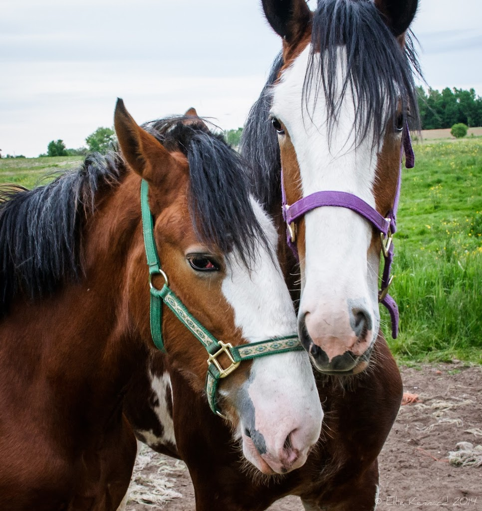 Draft Horse Pair - Ellie Kennard 2012