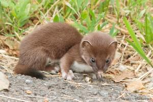 Short tailed weasel pup ©Ellie Kennard