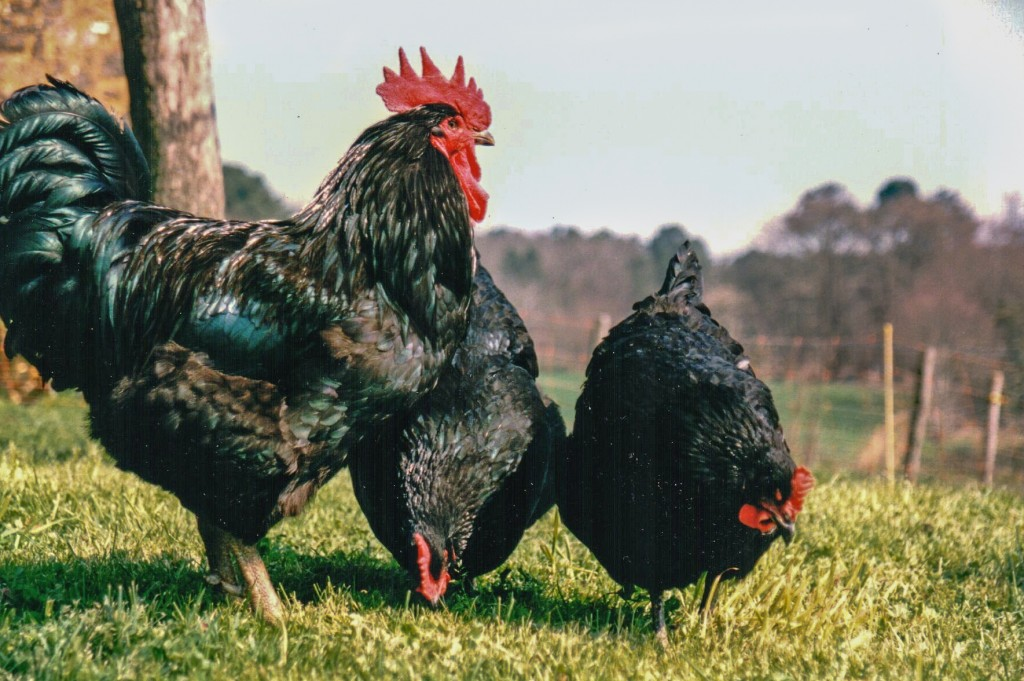 Jersey Giant Cockerel and Hens - photo Steven Kennard
