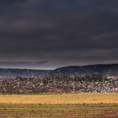 Winter field before the storm with flock of gulls - Ellie Kennard 2012