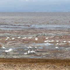 Snow Geese on the banks of the St, Lawrence River, Quebec – Ellie Kennard 2016