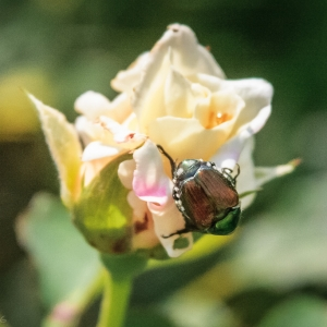 Beetle Coming up Roses – Ellie Kennard 2016