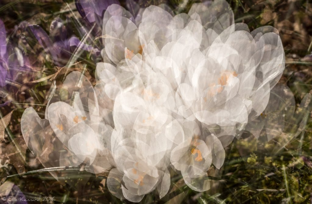 Diaphanous Crocus- Ellie Kennard 2016