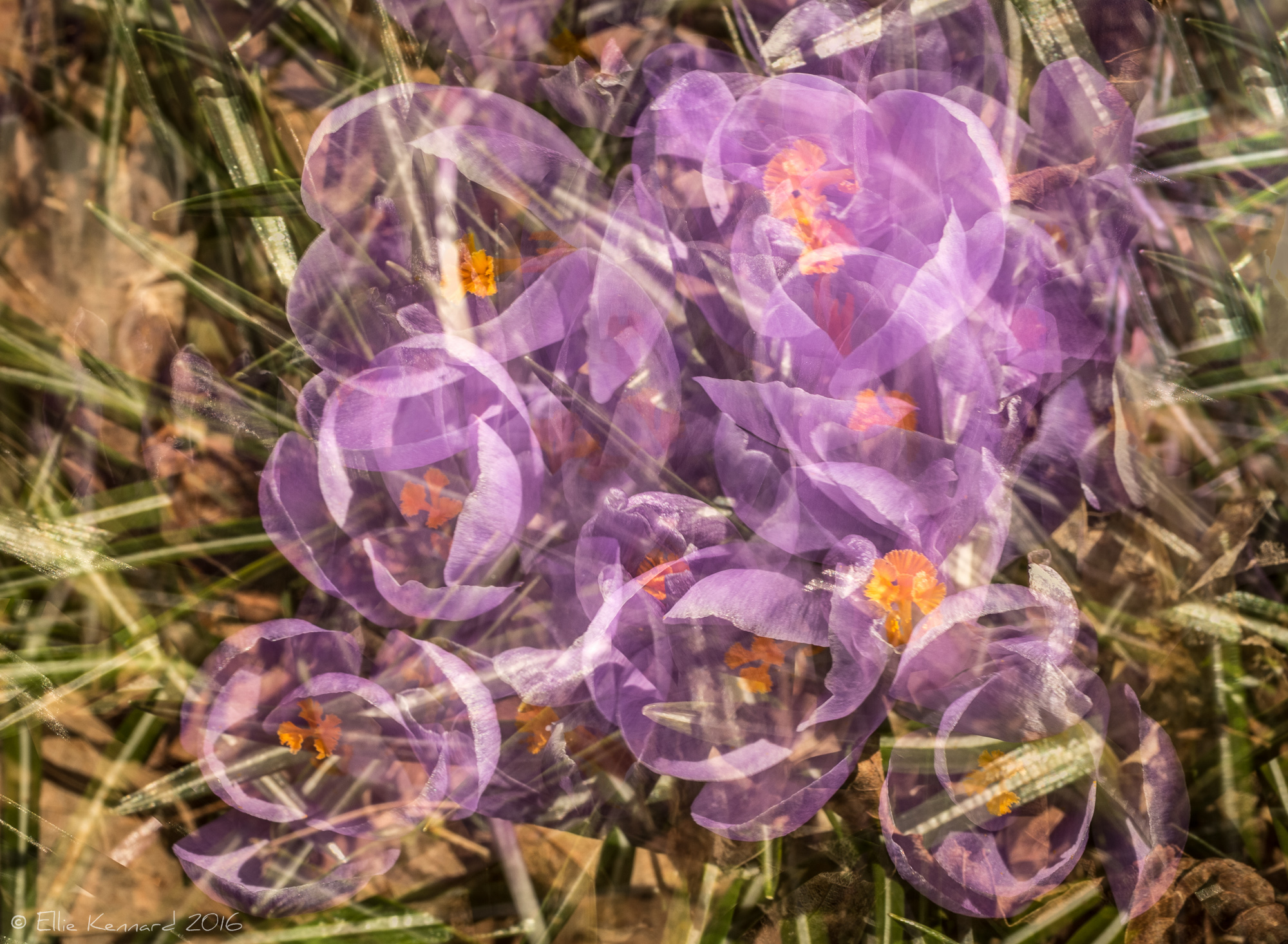 Transparent Purple ~ Multiple Exposure of Purple Crocuses– Ellie Kennard 2016