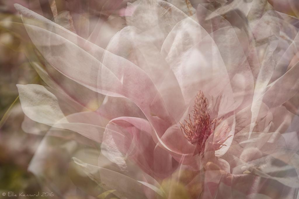 Impressions of a Magnolia Flower- Ellie Kennard 2016
