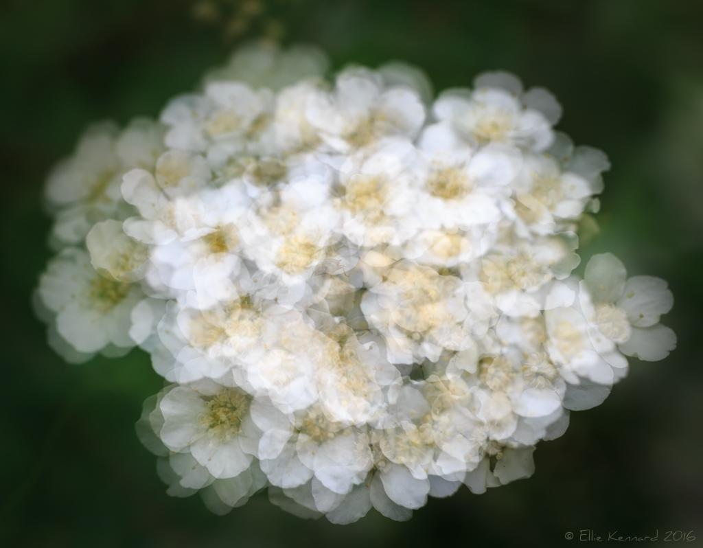Spirea flowers in multiple exposure – Ellie Kennard 2016