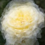 White Rose's Glowing Heart of Summer : Ellie Kennard 2016