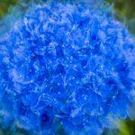 Blue Hydrangea summer posy - multiple exposure - Ellie Kennard 2016