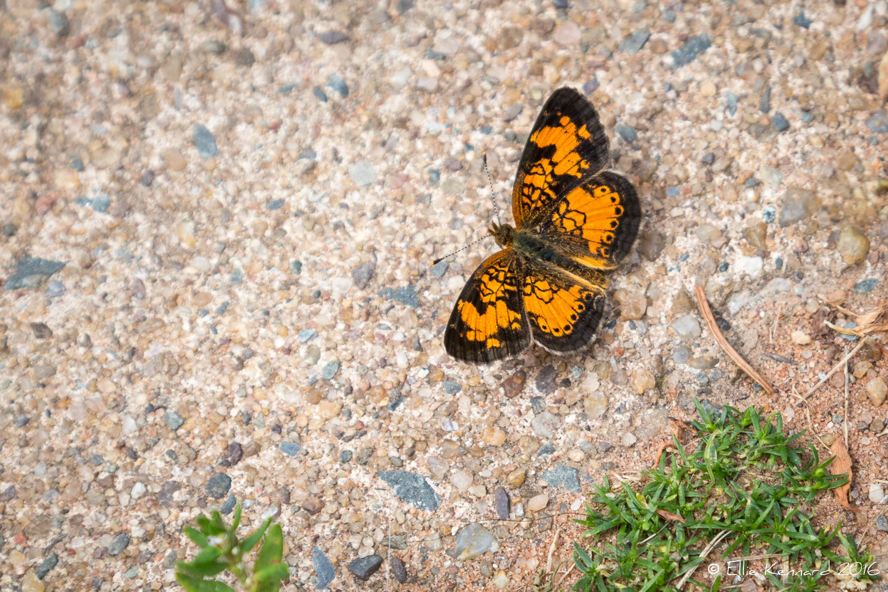 Pearl Crescent Butterfly, Phyciodes tharos - Ellie Kennard 2016