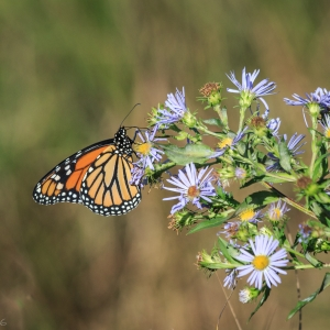 Female Monarch butterfly on wildflowers - Photo by Ellie Kennard 2016