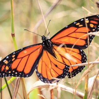 Male Monarch Butterfly, Bigelow Trail, Canning. Note the black spot, lower back wing, thinner lines tracing on the wings. - Ellie Kennard 2016