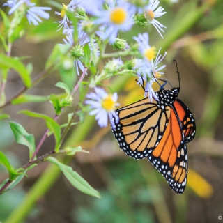 Female Monarch butterfly on wildflowers, Bigelow Trail, Canning - Photo by Ellie Kennard 2016