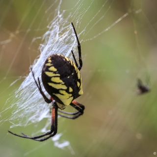 """This is a female Yellow Argiope spider seen while photographing Monarch butterflies. People use a variety of other names like Garden spider or """"Sewing Machine"""" spider, because of the zigzag she weaves in her web. The male is incredibly small in comparison. Canning - Ellie Kennard 2016"""