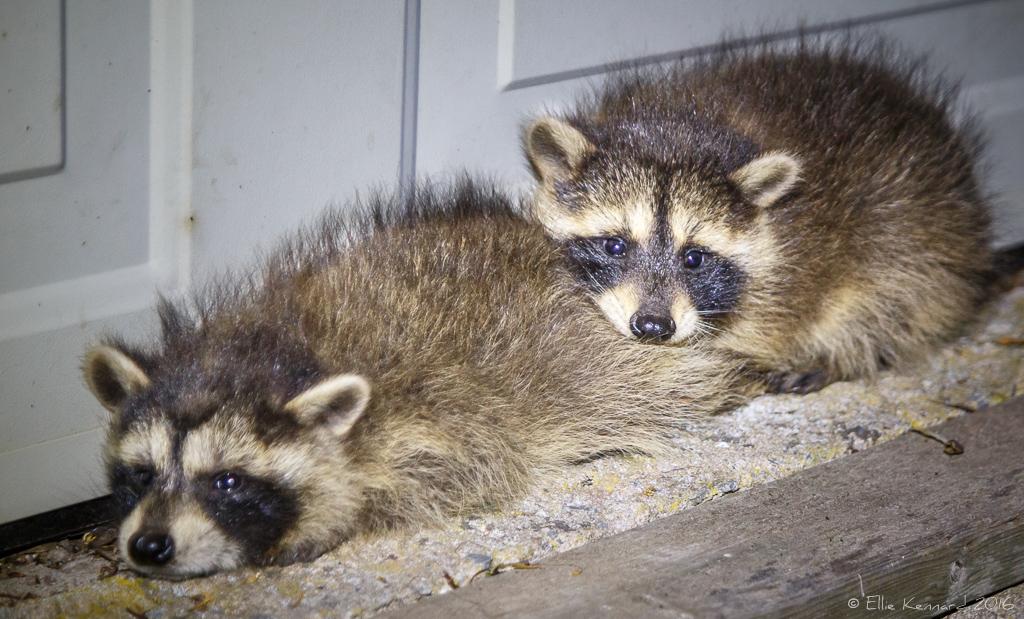 Lost baby raccoons – Ellie Kennard 2016