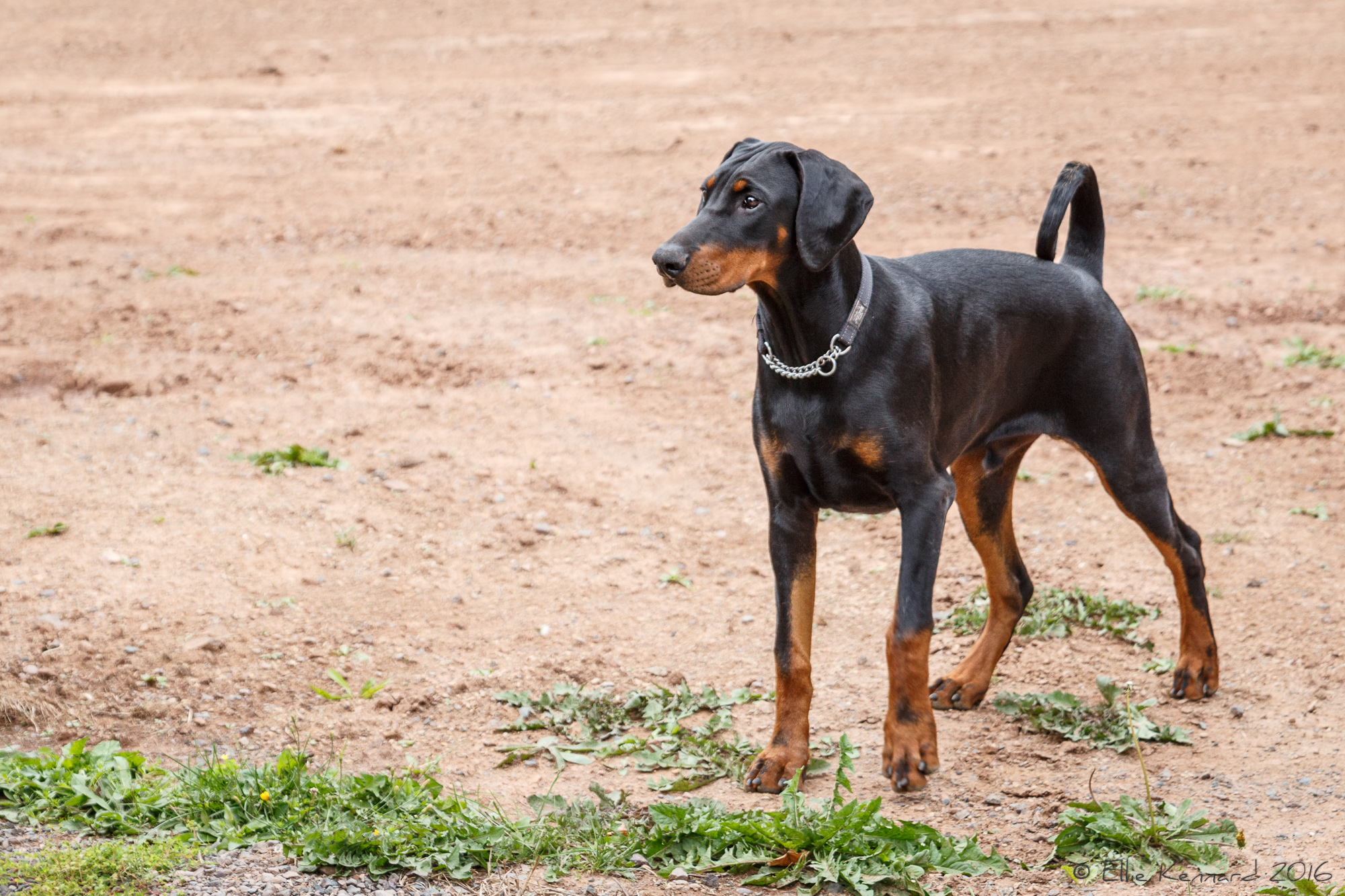 Scout , Doberman Pinscher - Ellie Kennard 2016