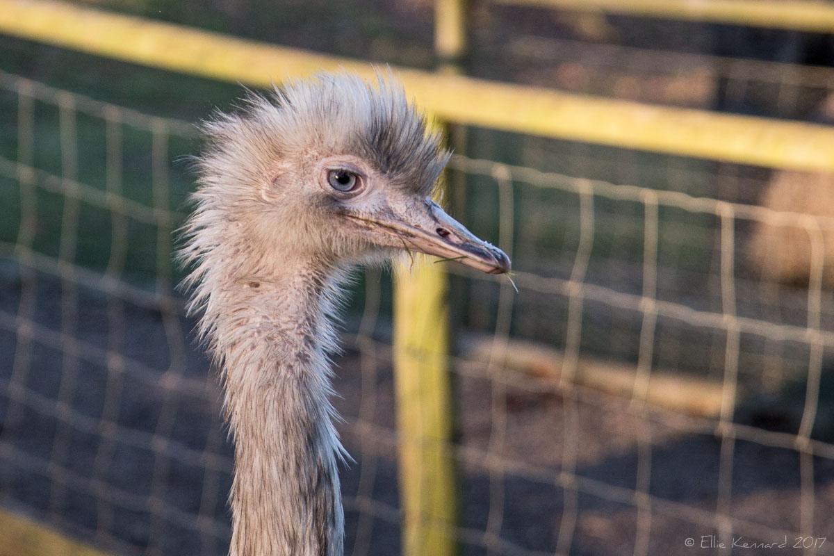 Emu at Jimmy's Farm - Ellie Kennard 2016
