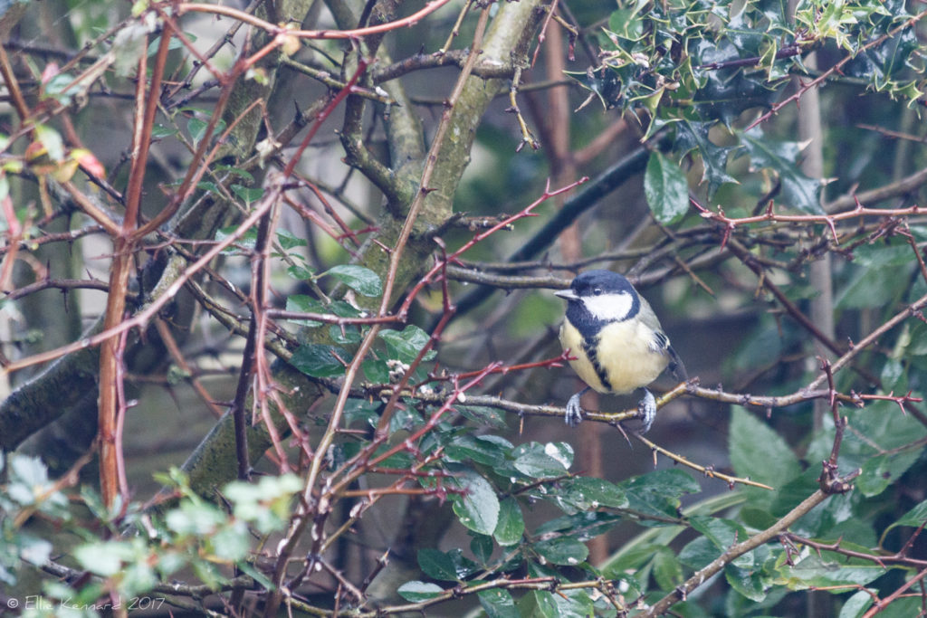 Great Tit in a hedge - Ellie Kennard 2016